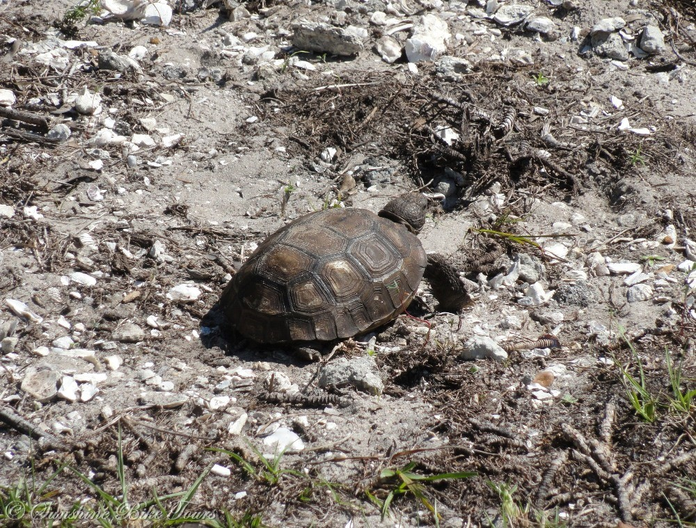 Gopher Tortoise Pictures Baby Baby Gopher Tortoise
